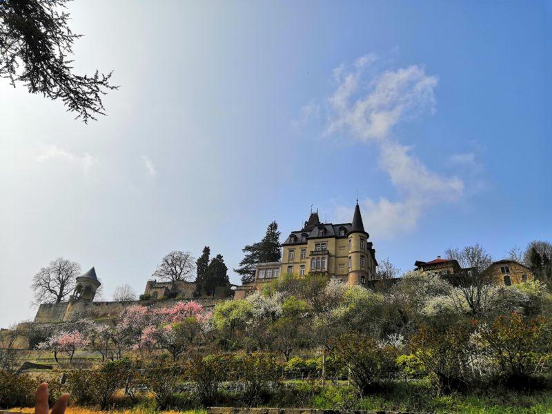 Frühlingsblüten in Haardt / Pfalz